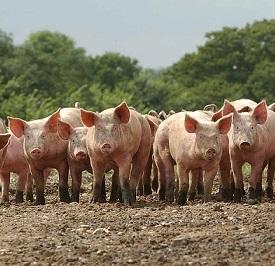 20.8.04 Blythburgh Free Range PorkFree Range growers.